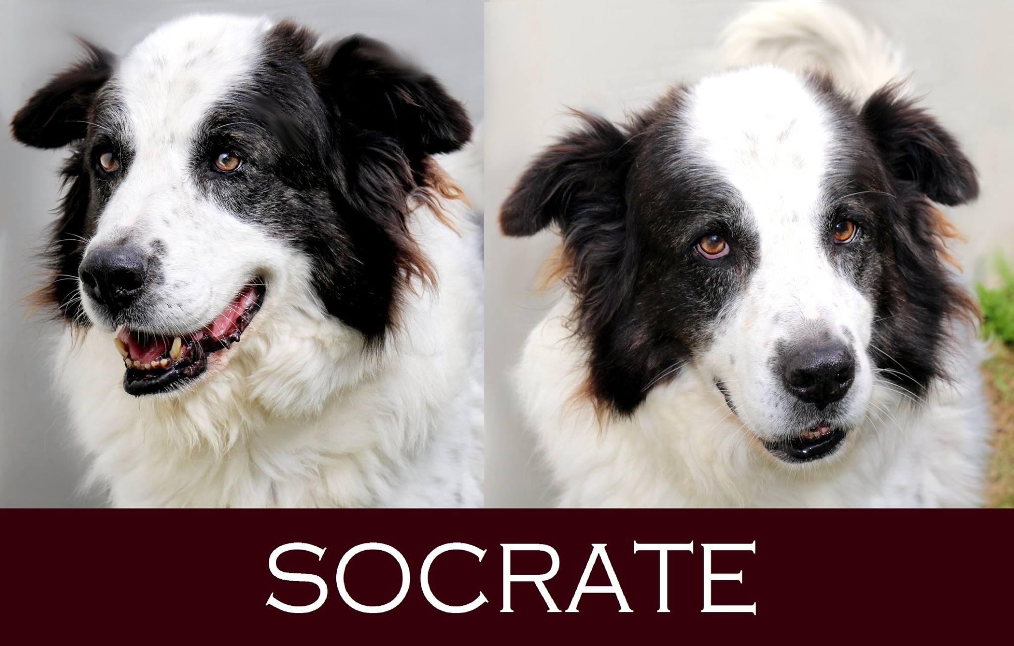 Socrate-Adozione cani anziani