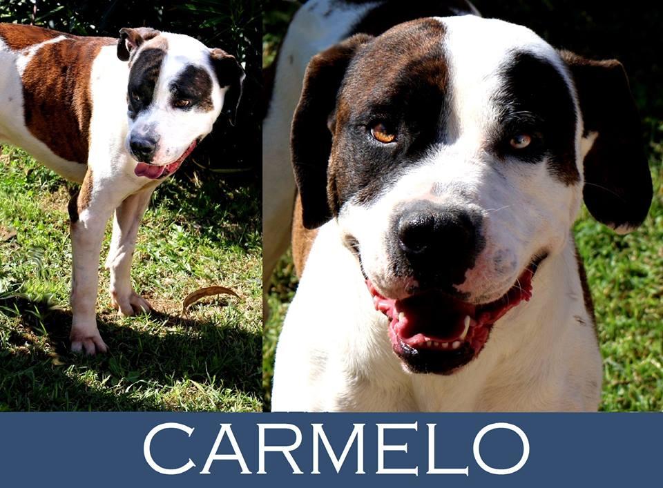 Carmelo-Tip. pitbull