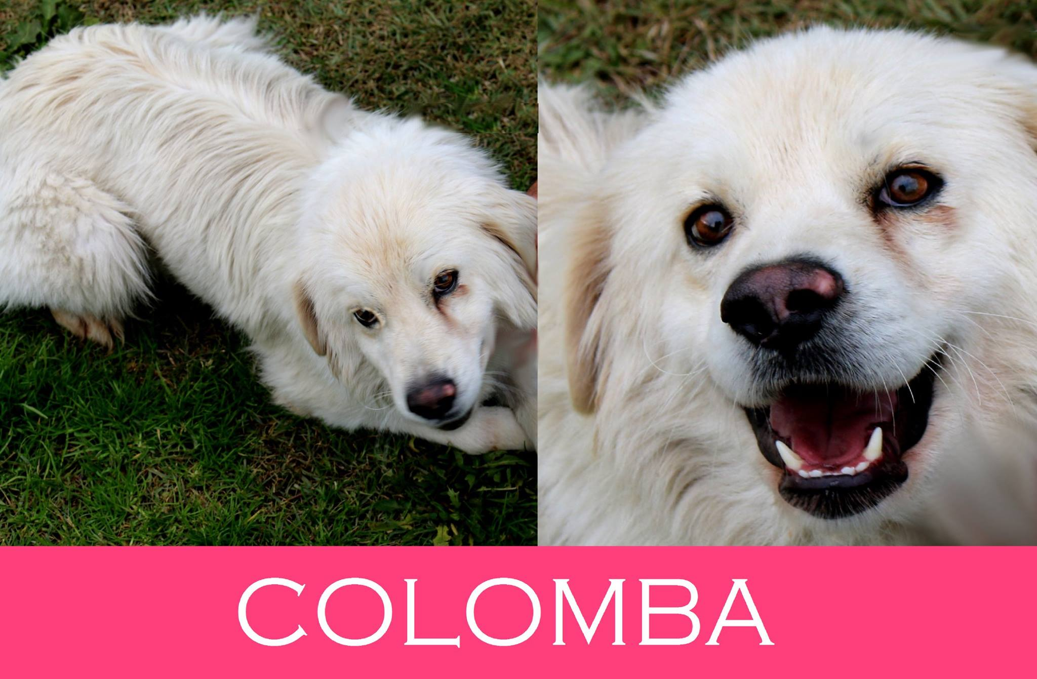 Colomba-Tip. maremmano abruzzese