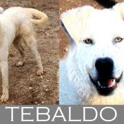 Tebaldo