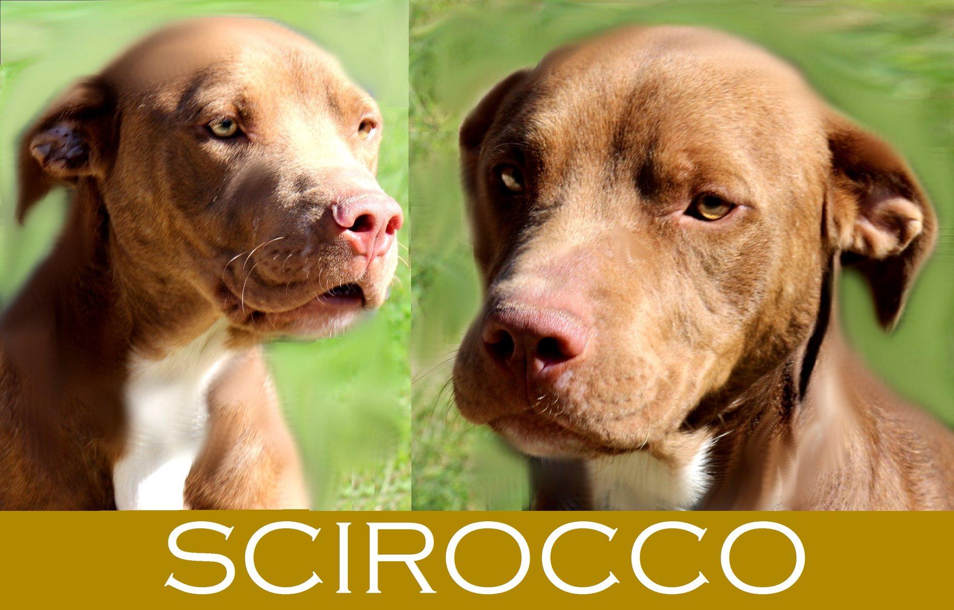 Scirocco- tip.pitbull