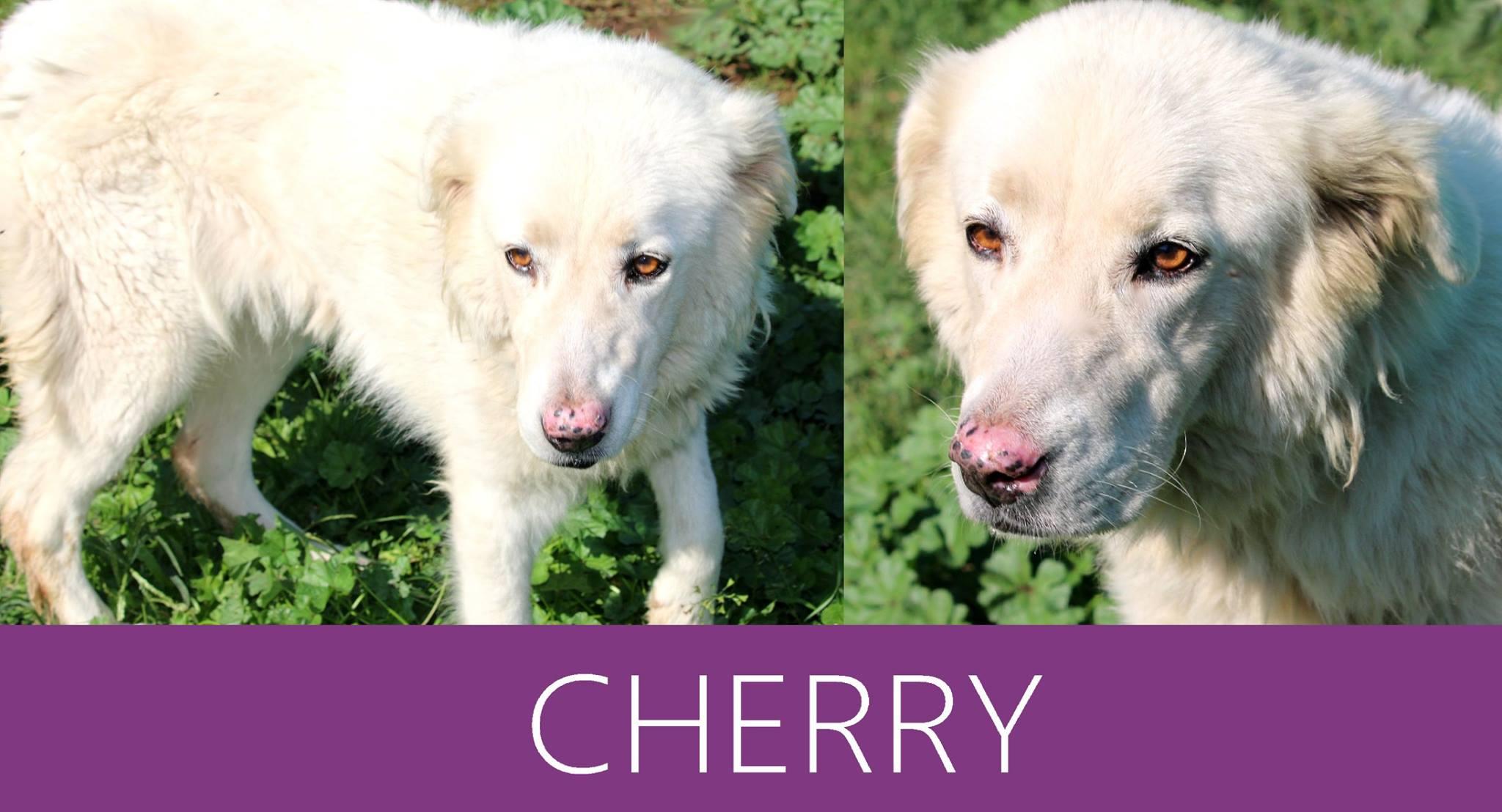 Cherry-Tip. maremmano abruzzese