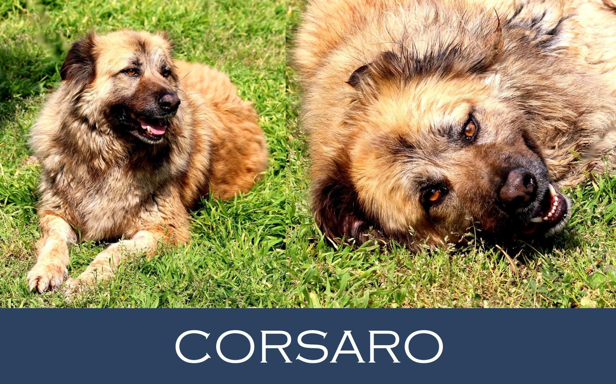 Corsaro-Tip. Leonberger