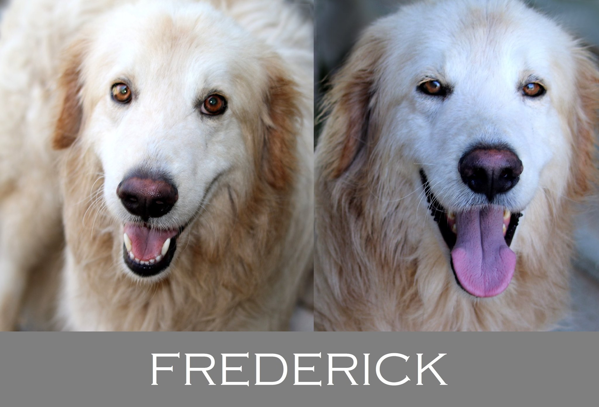 Frederick-Tip.maremmano abruzzese
