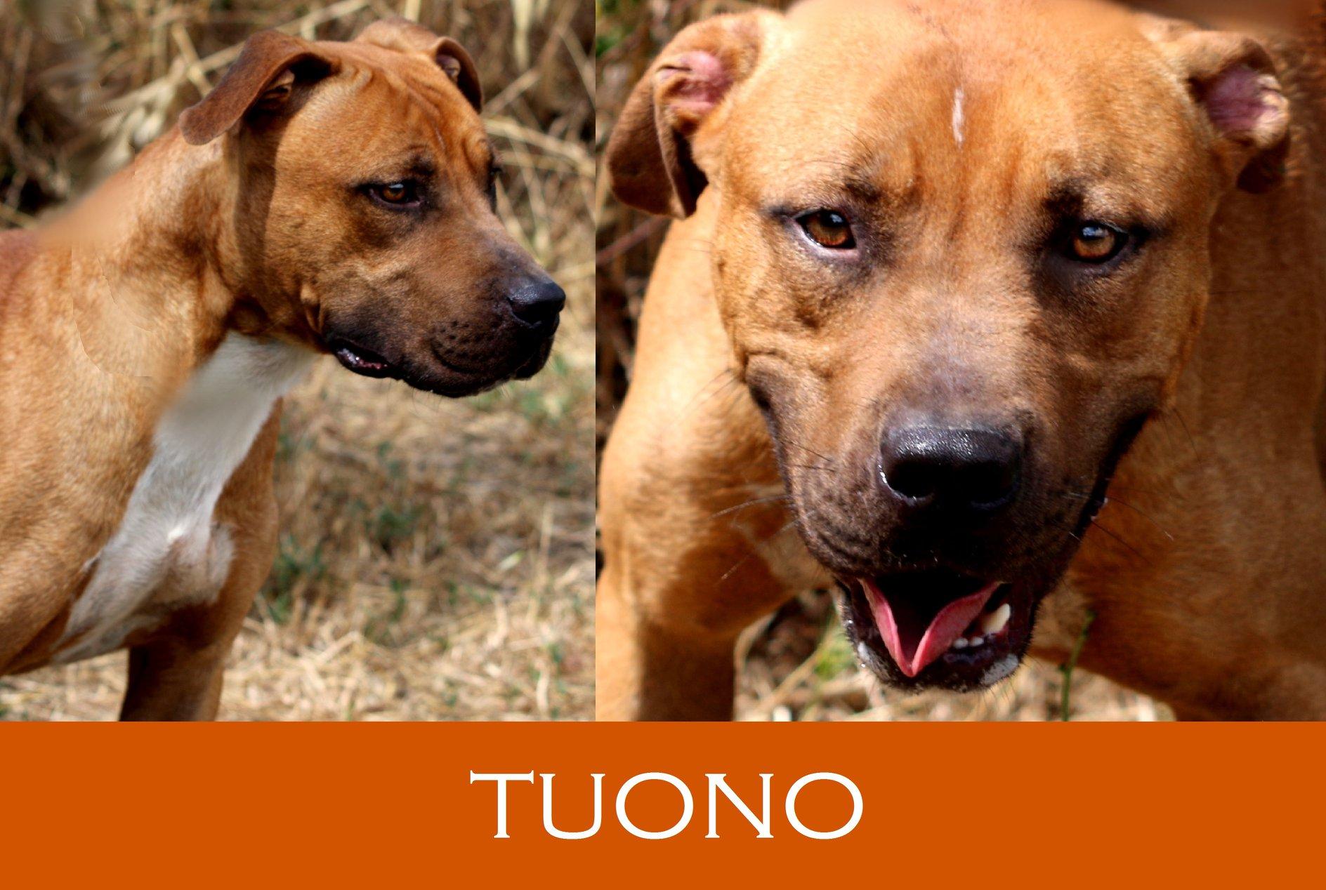 Tuono-Tip. pitbull
