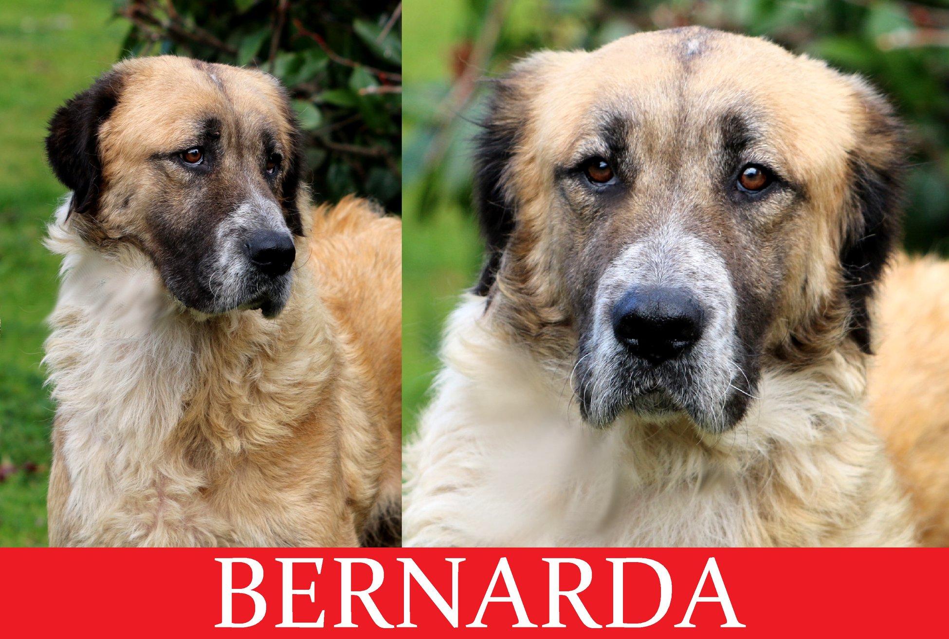 Bernarda-Tip. San Bernardo