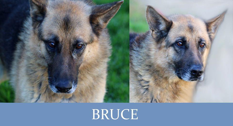 Bruce-Tip. pastore tedesco