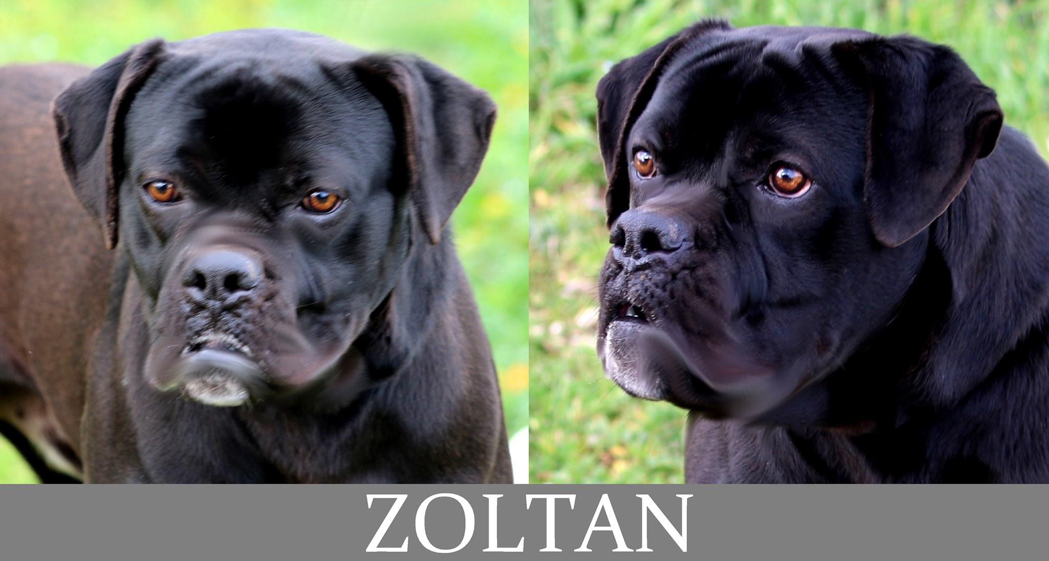 Zoltan- Tip. boxer