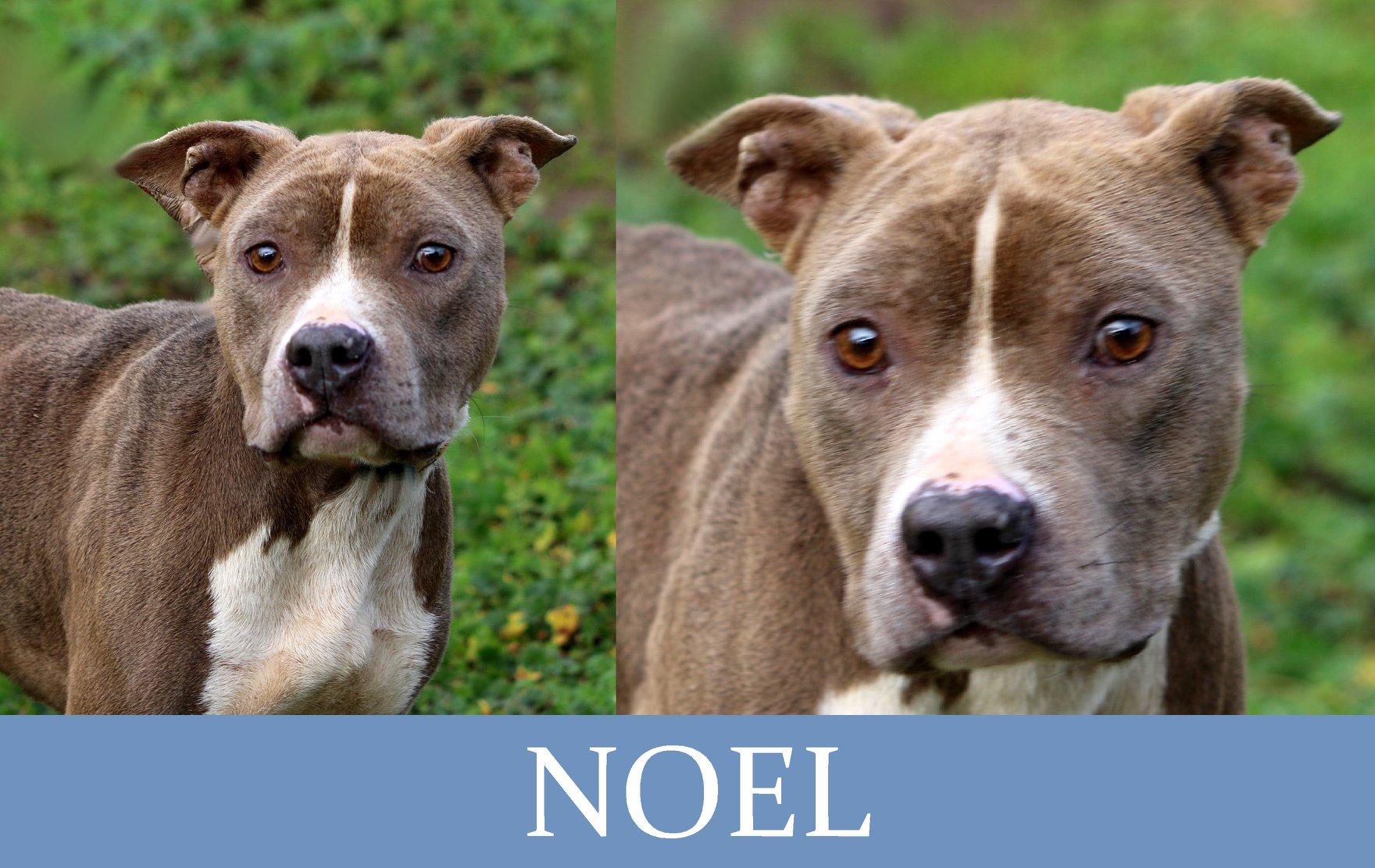 Noel-Tip. pitbull