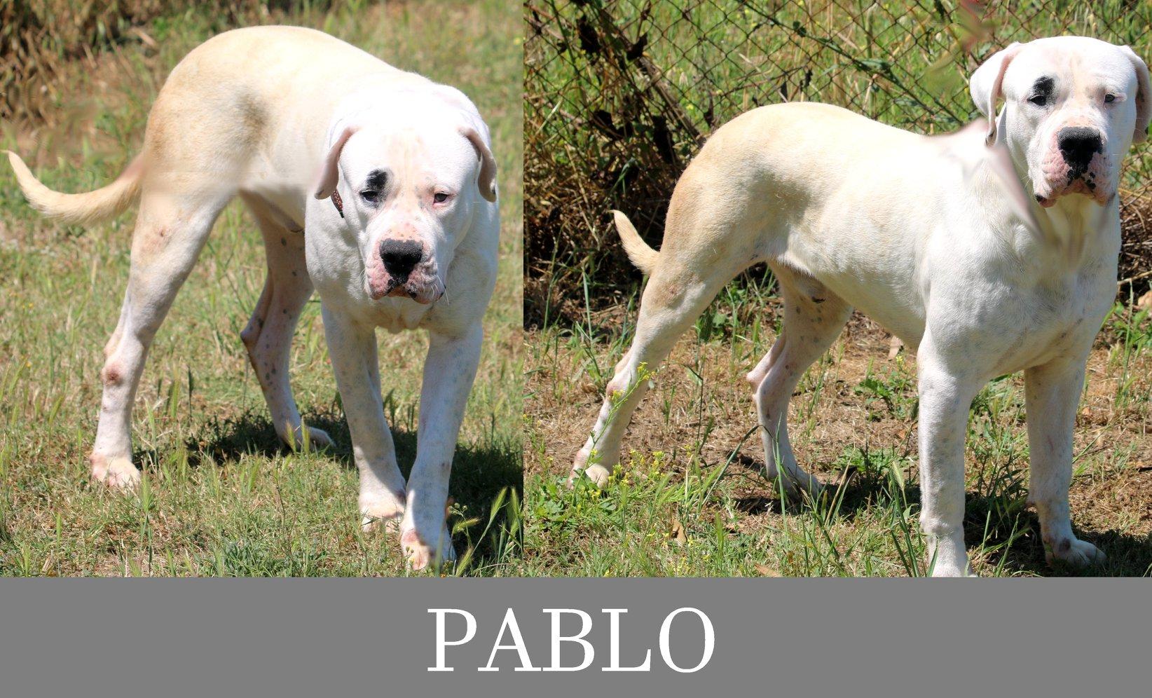 Pablo- Tip. dogo argentino
